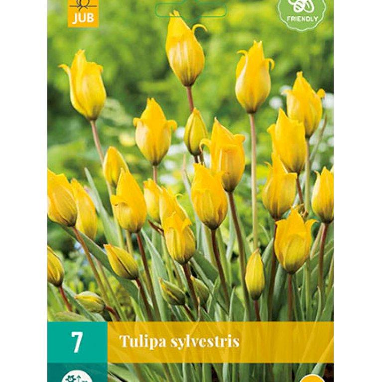 Tulipan 'Sylvestris'