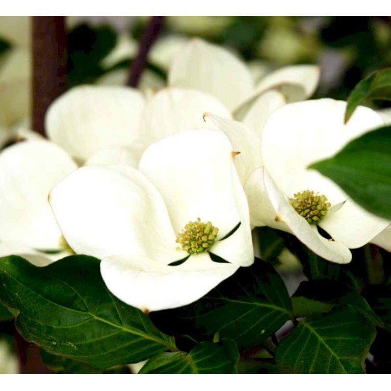 Blomsterkornel 'Eddies White Wonder'