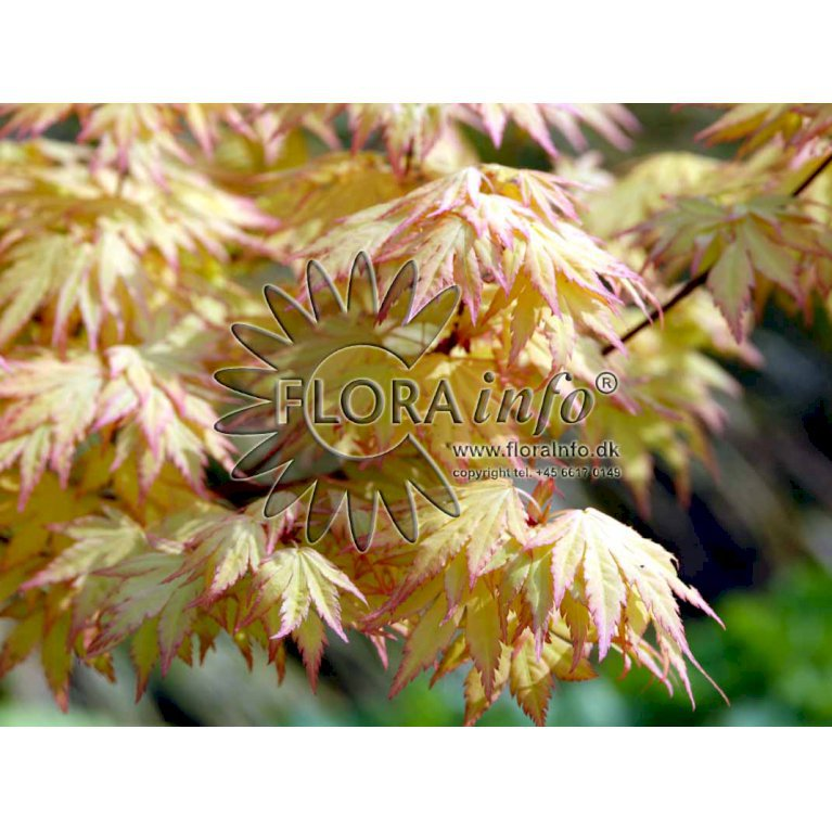 Japansk Ahorn 'Orange Dream'