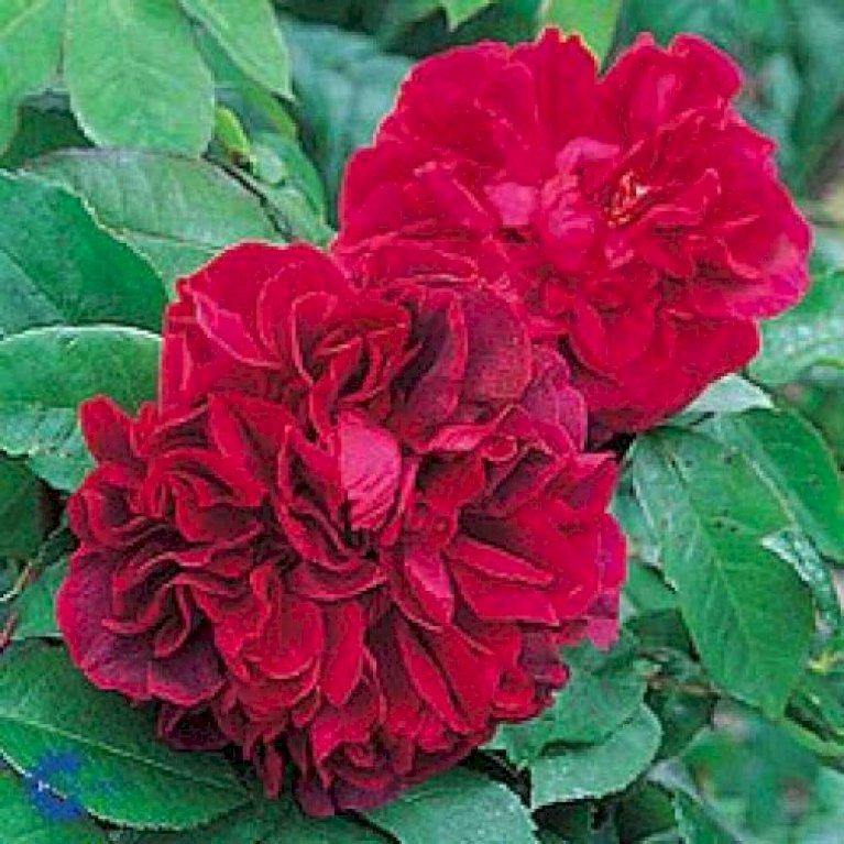 Engelsk rose 'The Dark Lady'