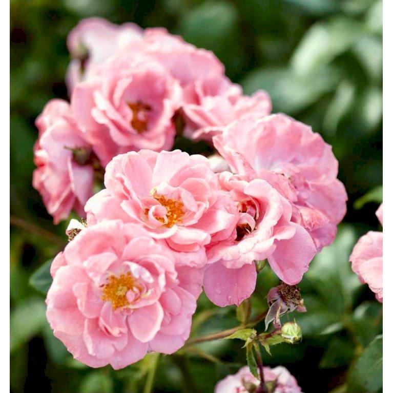 Bunddækkende Rose 'Coral Border' ®