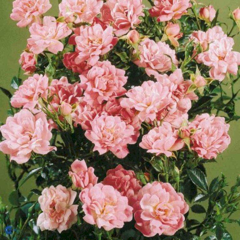 Bunddækkende Rose 'Easy Cover' ®