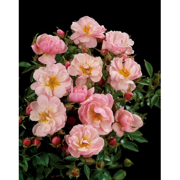 Bunddækkende Rose 'Gentle Cover' ®