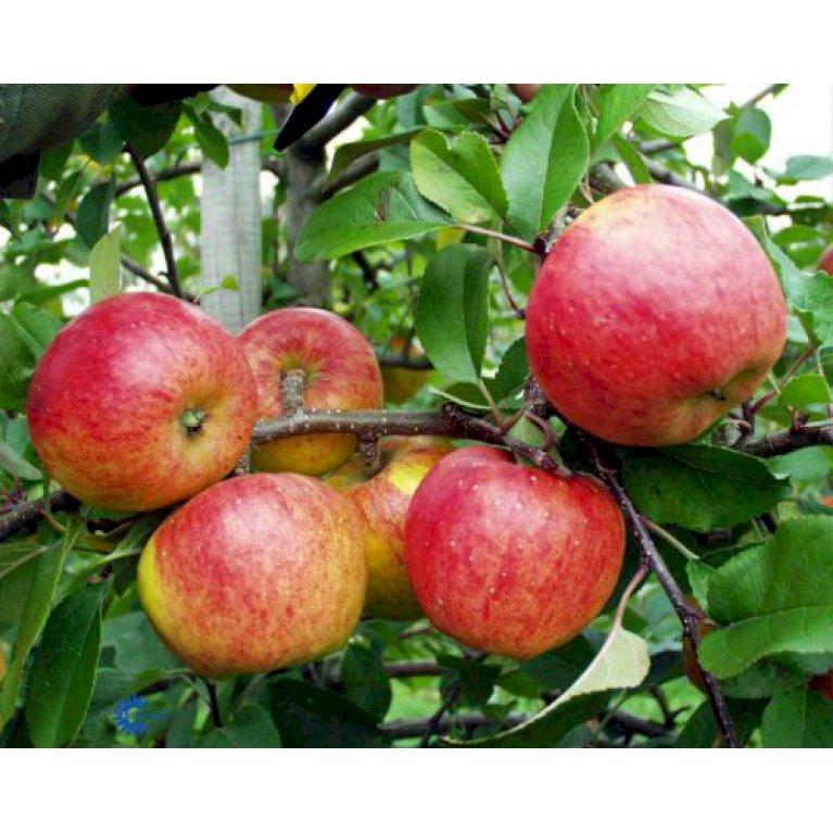 Æble 'Topaz'