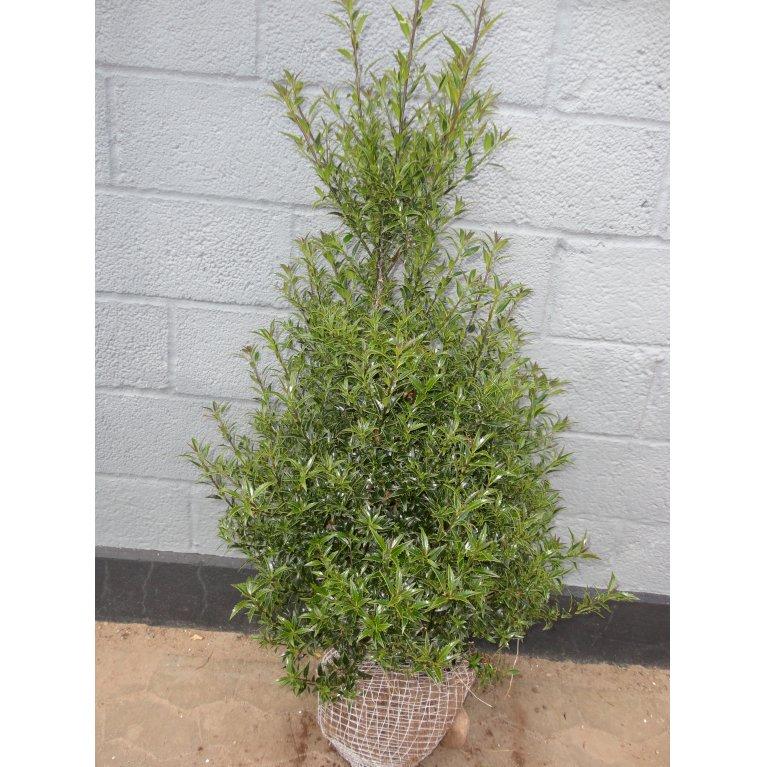 Kristtorn 'Myrtifolia'