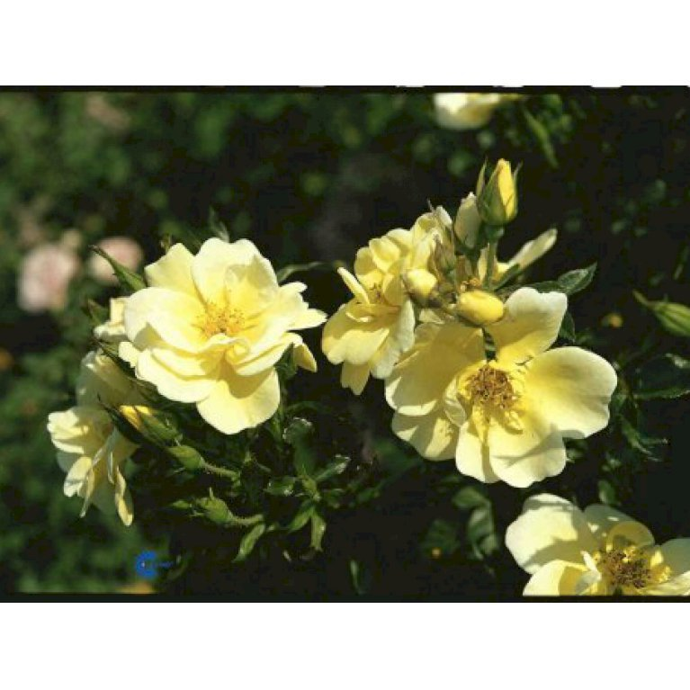Bunddækkende Rose 'Sunburst Border' ®