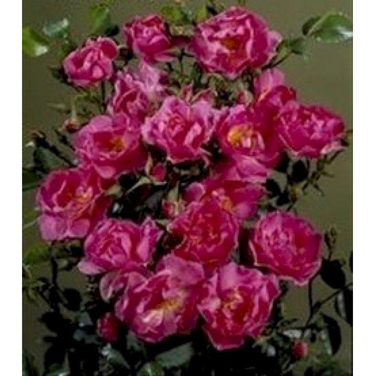 Bunddækkende Rose 'Supreme Cover' ®
