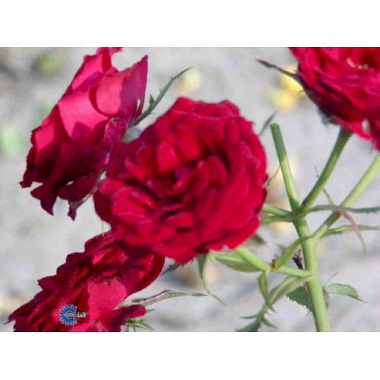 Bunddækkende Rose 'Velvet Cover' ®