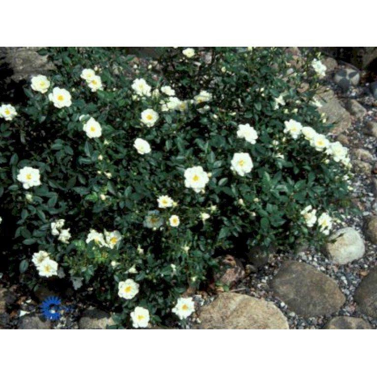 Bunddækkende Rose 'White Cover' ®