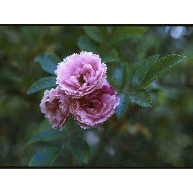 Rynket rose 'Pink Grootendorst'