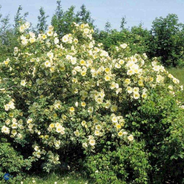 Buskrose 'Frühlingsgold'