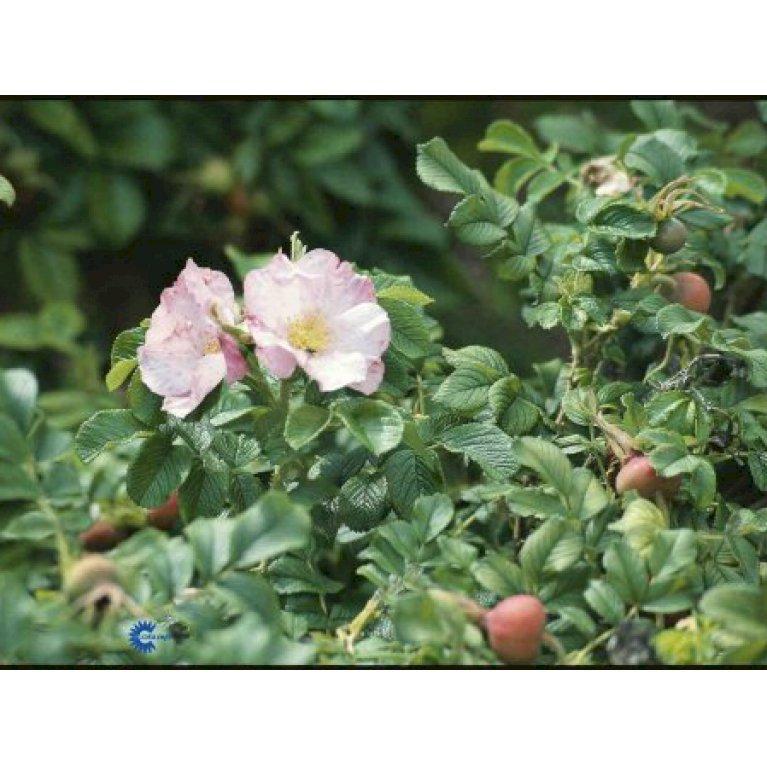 Rynket rose 'Dagmar Hastrup'