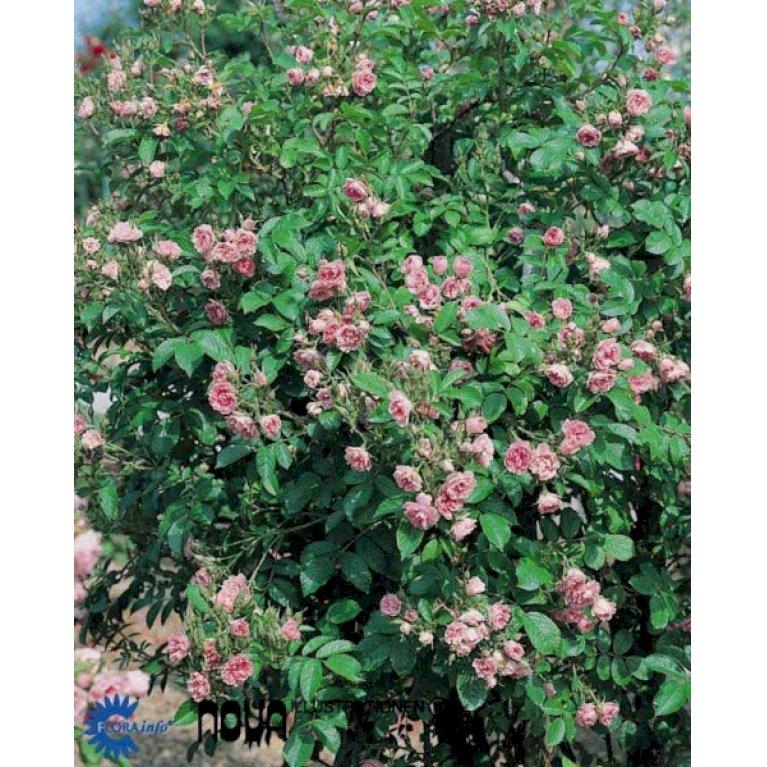 Rynket rose 'F.J. Grootendorst'