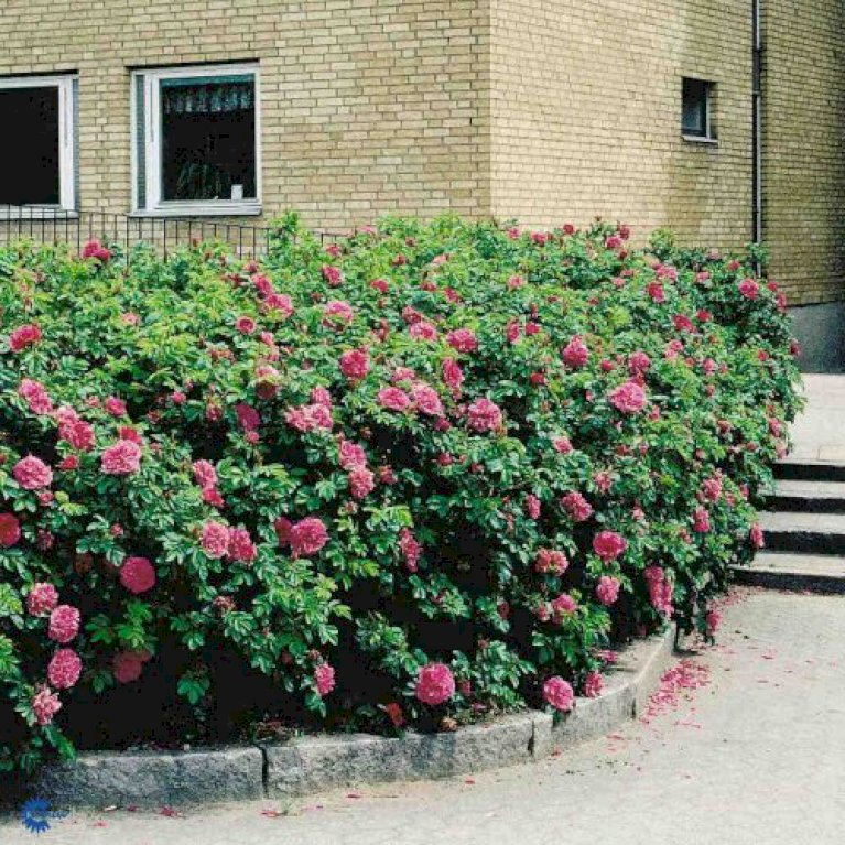 Rynket rose 'Hansa'
