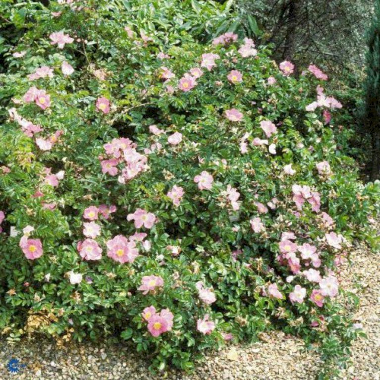 Rynket rose 'Max Graf'