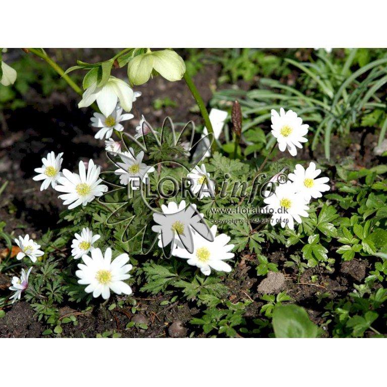 Balkan-Anemone - Hvid