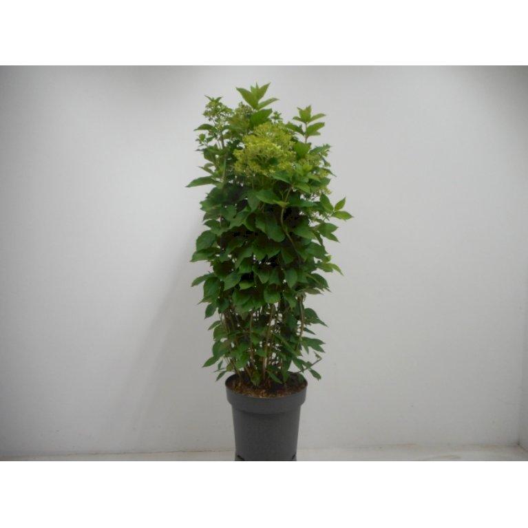 Syrén-Hortensia 'Limelight'