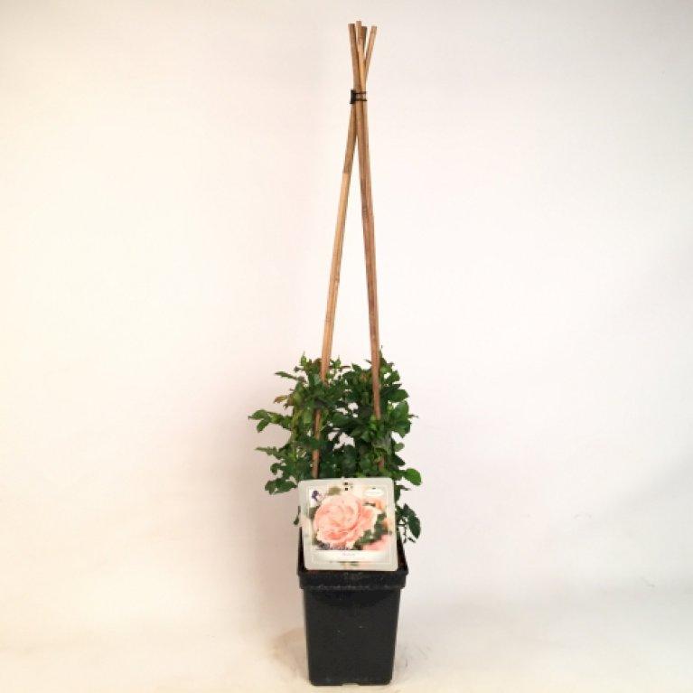 Renaissance rose 'Bonita Renaissance' ®