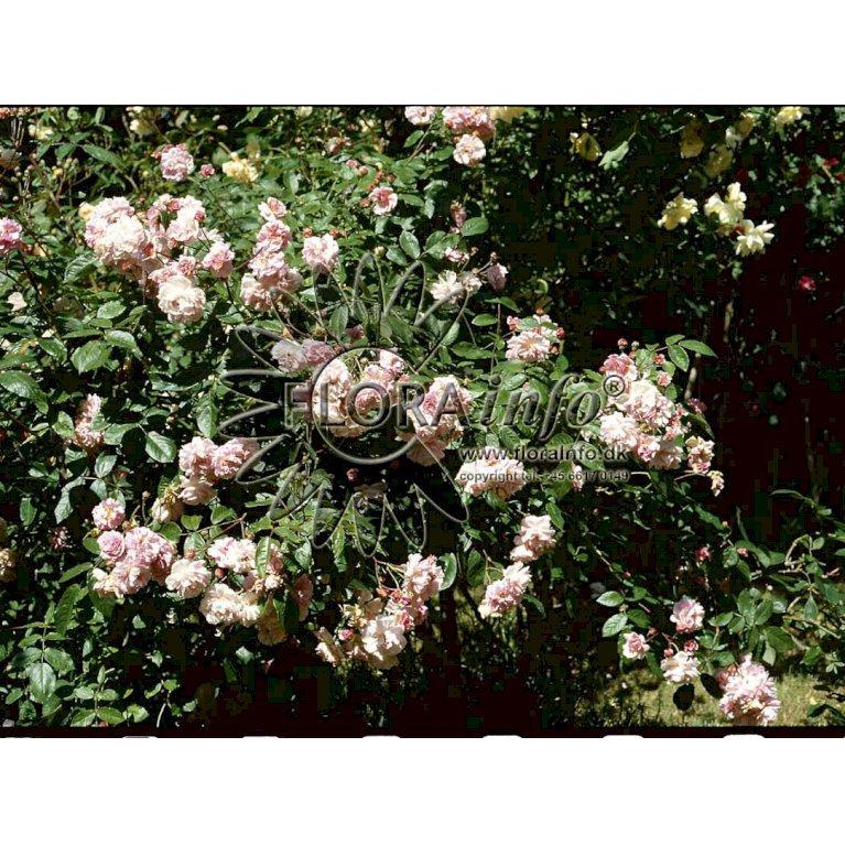 Gammeldags Rose 'Felicia'