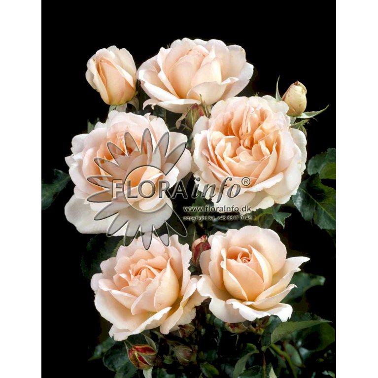 Renaissance rose 'Clair Renaissance' TM
