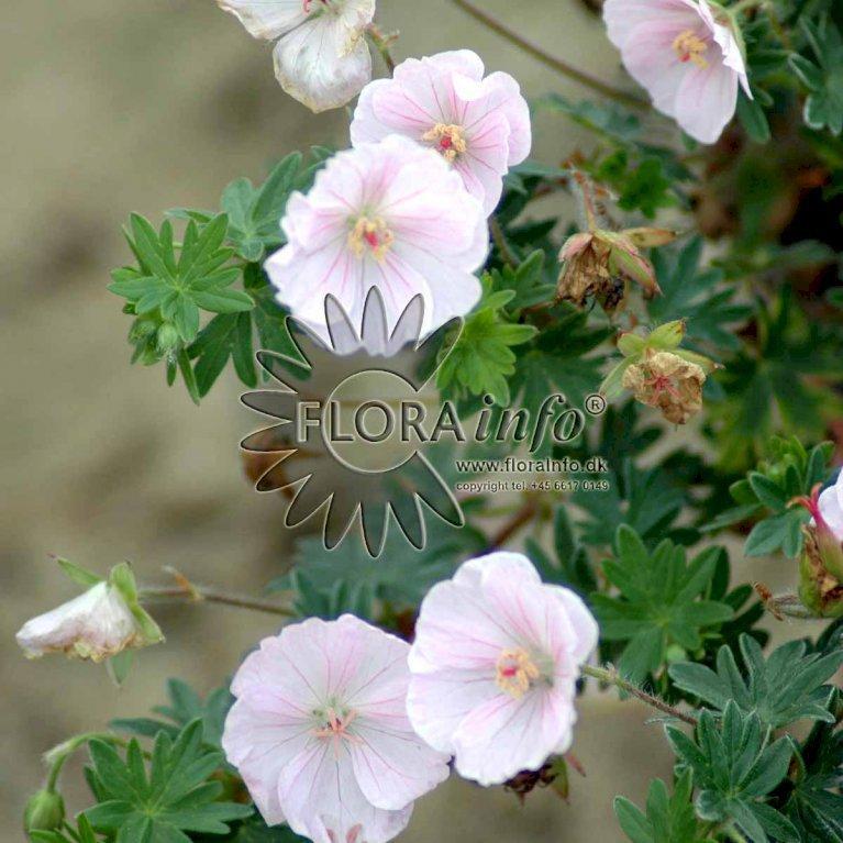 Blodrød Storkenæb 'Apfelblüte'