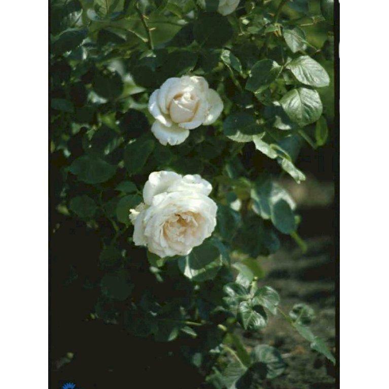 Renaissance rose 'Helena Renaissance' ®
