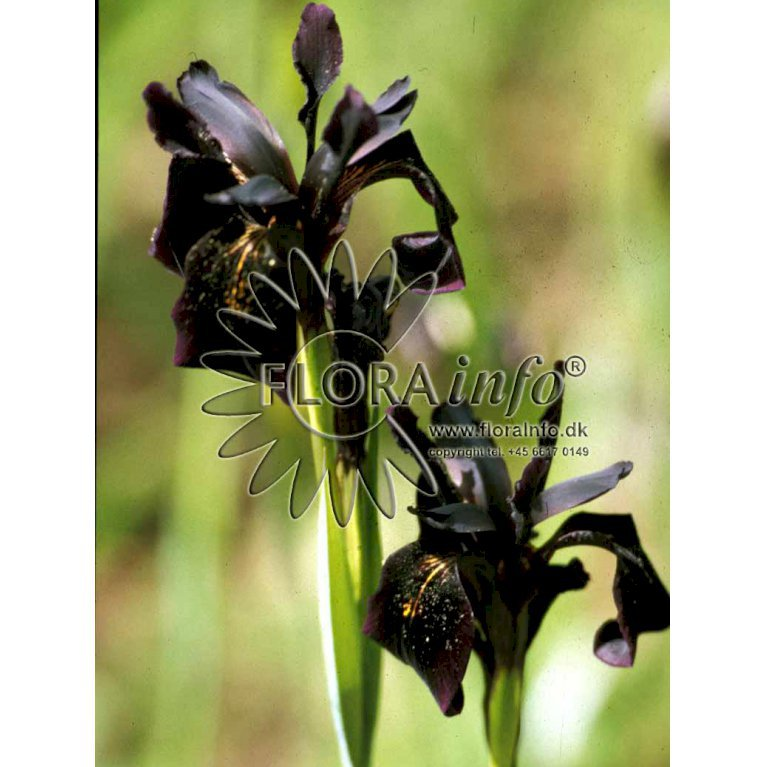 Smalbladet Iris