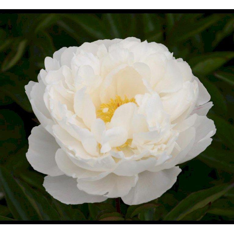 Silkepæon 'Gardenia'