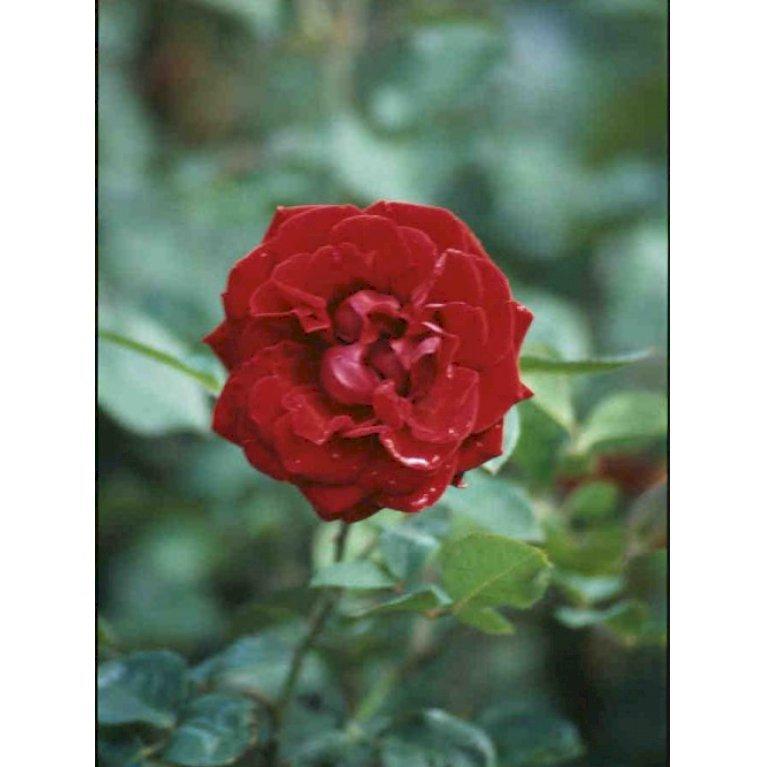 Renaissance rose 'Isabel Renaissance' ®