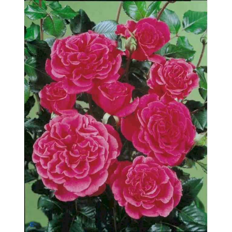 Renaissance rose 'Prinsesse Alexandra Renaissance' ®