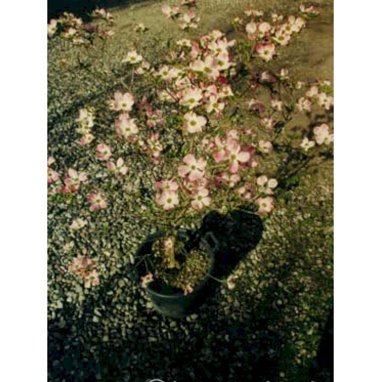 Blomster Kornel