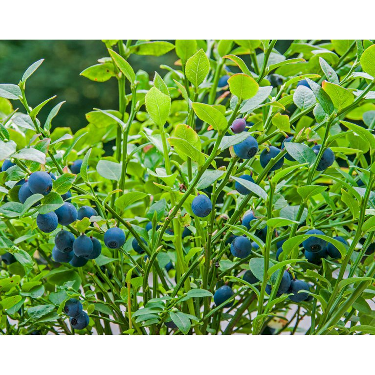 Vild Blåbær