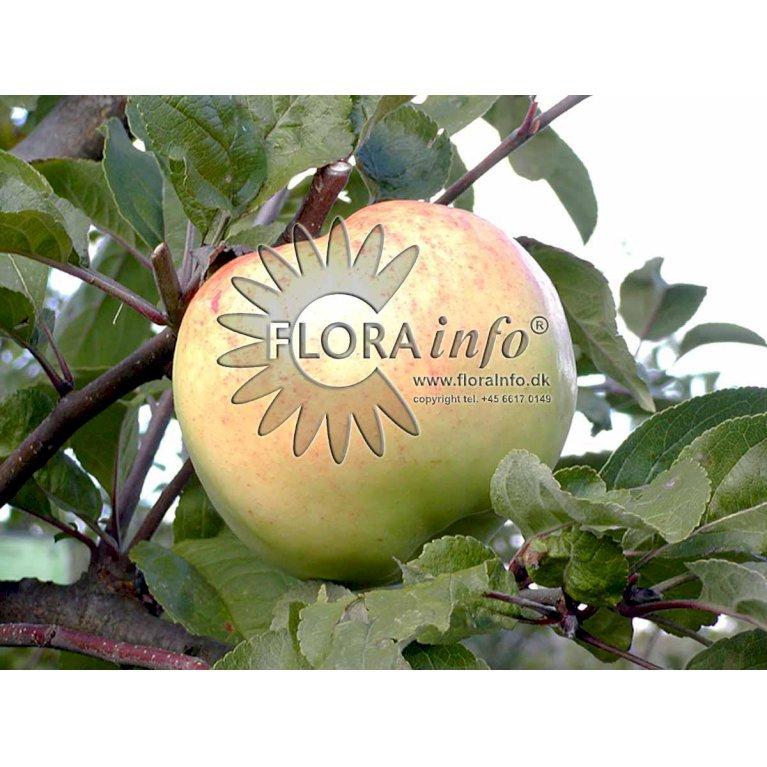 Æble 'Bøghs Citronæble'