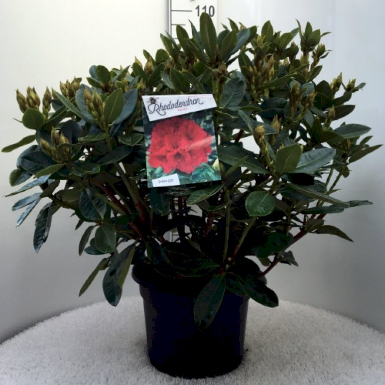 Rododendron 'Red Jack'