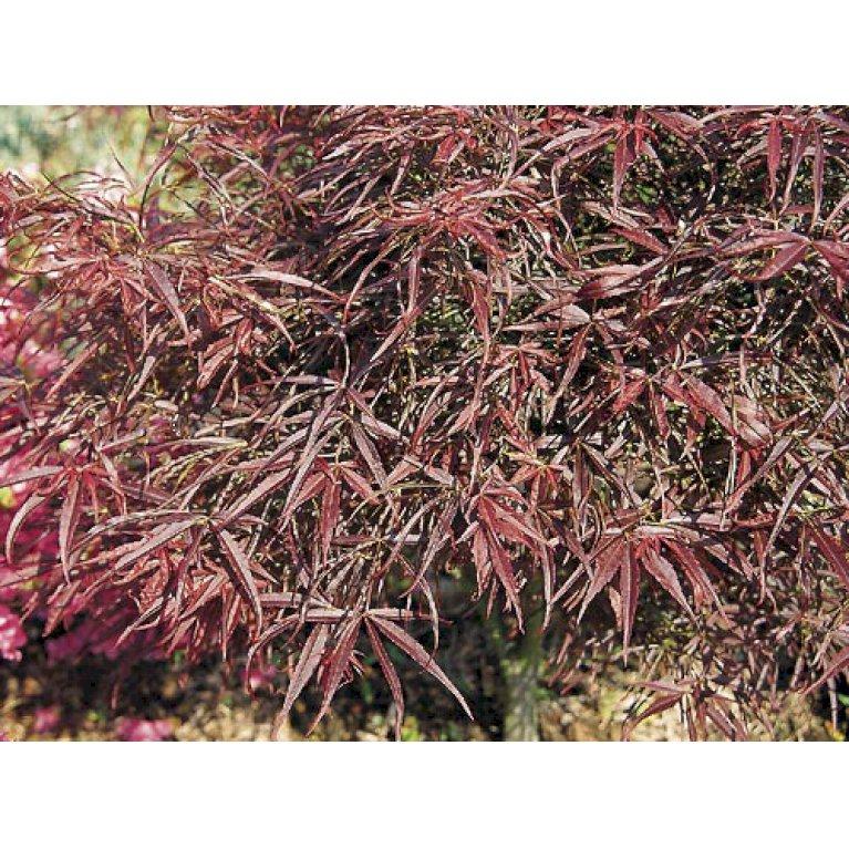 Japansk Ahorn 'Red Pygmy'