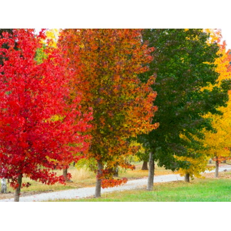 Virginsk ambratræ