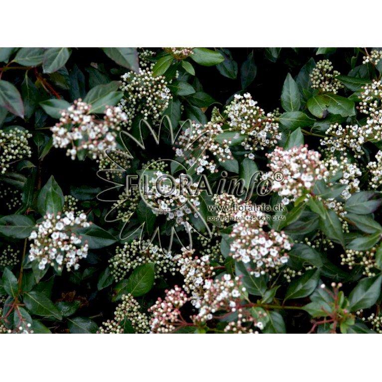 Vinter Snebolle Viburnum Tinus Plantetorvetdk