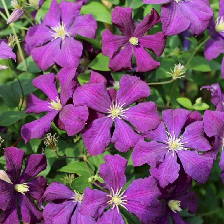 Italiensk Skovranke 'Etoile Violette'