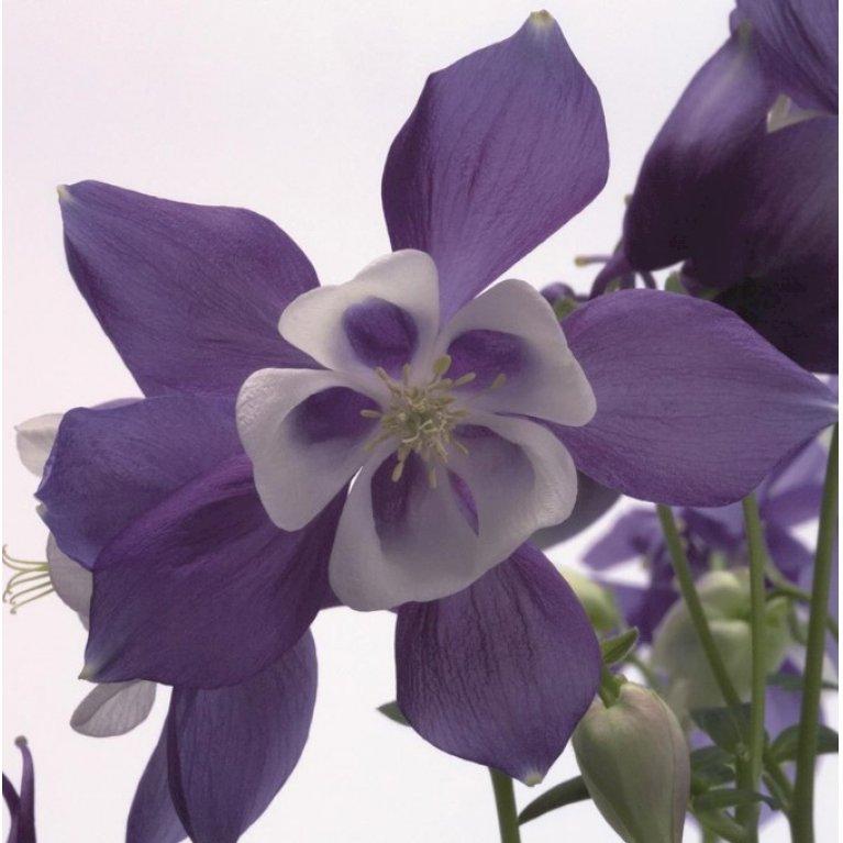 Akeleje 'Spring-magie Blue/white'