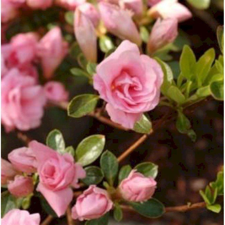 Jap. Azalea 'Rosebud'