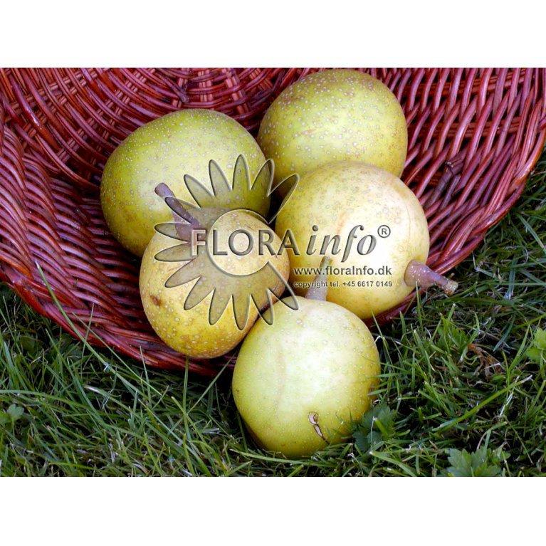 Asiatisk pære -