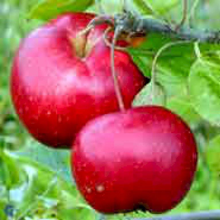 Æble 'Ritt Bjerregaard'