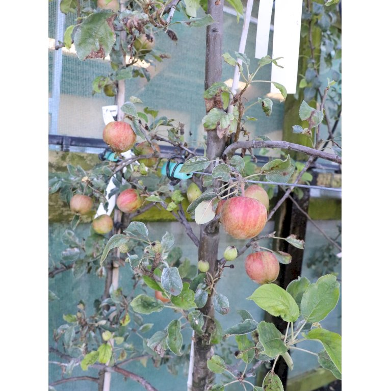 Æble 'Rød Aroma'