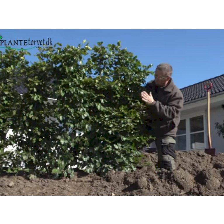 Færdighæk Bøg (Fagus sylvatica)