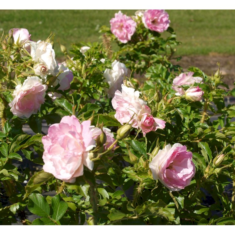 Rynket rose 'Ritausma'