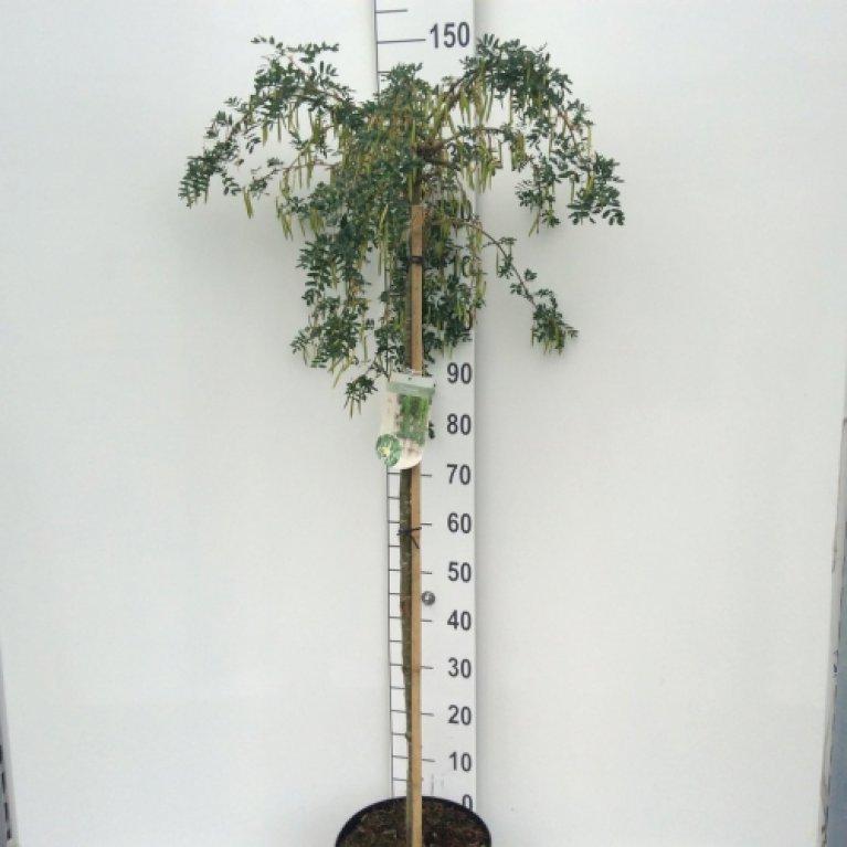 Hænge-Ærtetræ