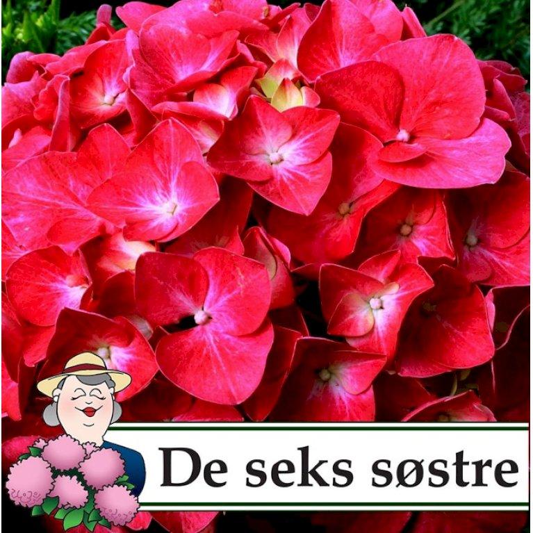 Hortensia 'Bella'