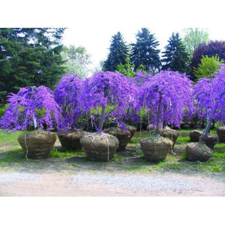 Judastræ 'Lavender Twist'