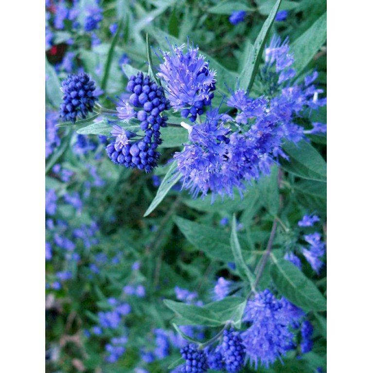 Blåskæg 'Kew Blue'