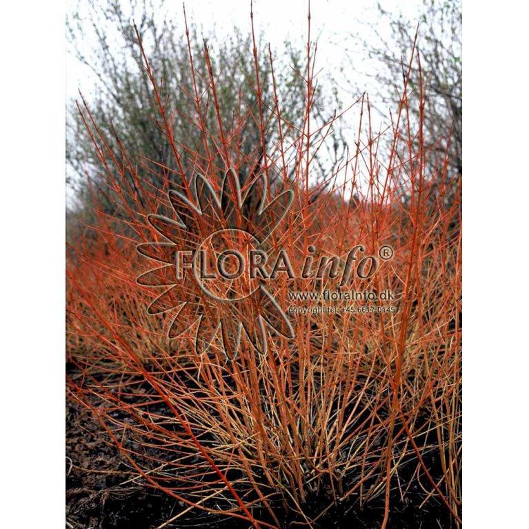 Rød kornel 'Winter Beauty'